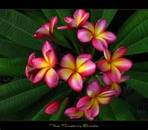 Rare Plumeria Flower