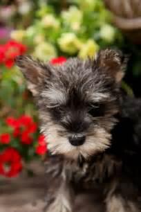 Cute Miniature Schnauzer Puppies