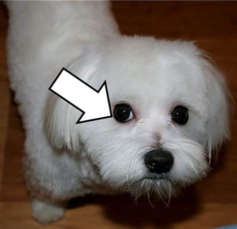 does maltipoo shed hair maltese black points and halos