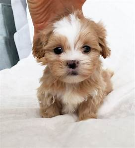 Adorable Morkie Puppy for sale!   iHeartTeacups