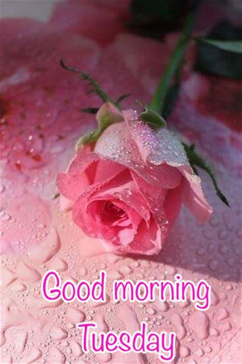 good morning tuesday pink rose pictures   images  facebook tumblr pinterest