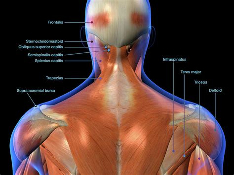 In this position, the discs in the back, as well as the neck, are subjected to much lower forces than in an upright position, and the muscles in the back of the neck no longer have to contract to hold your head up. Labeled Anatomy Chart Of Neck And Back Photograph by Hank Grebe