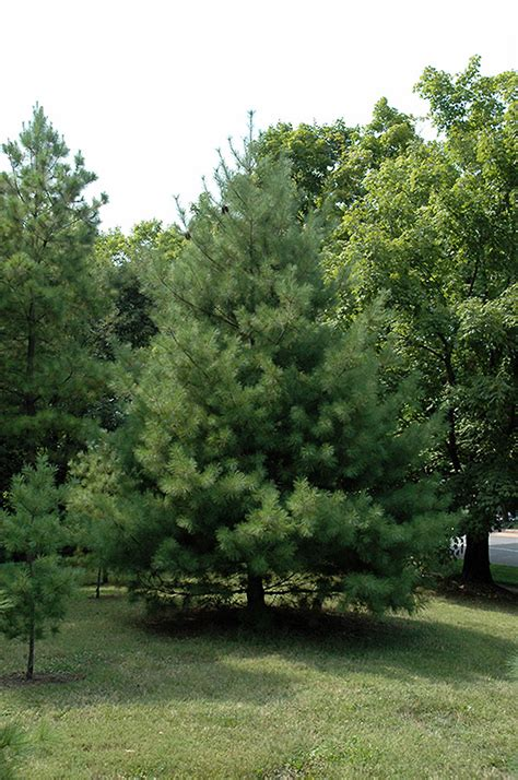 loblolly pine pinus taeda  richmond fairfax loudoun