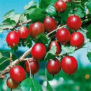 Rote Johannisbeeren Hochstamm Schneiden : stachelbeeren pflanzen stachelbeeren pflanzen und ~ Lizthompson.info Haus und Dekorationen