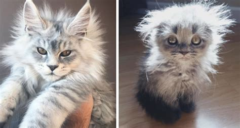 cutest  maine coon kittens  waiting