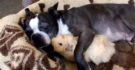 boston terrier  guinea pig snuggle fest dogtime