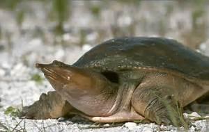 Florida Softshell (Apalone ferox) - FactSheet