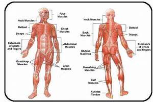 Muscular System Diagram Labeled And Unlabeled For Kids