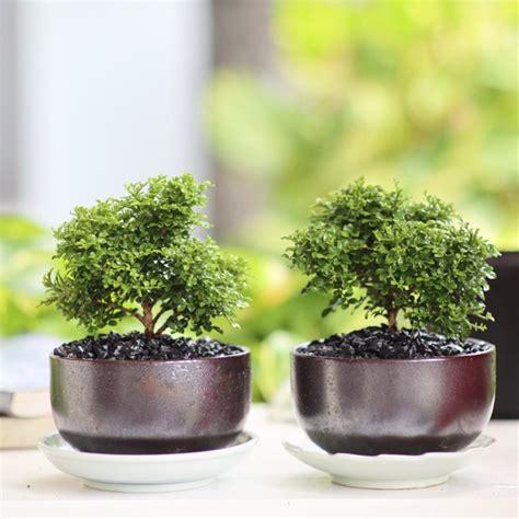 ต้นแก้วแคระมหามงคล ในกระถางเซรามิคญี่ปุ่น | Shopee Thailand