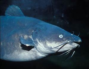The color and scent preference of catfish