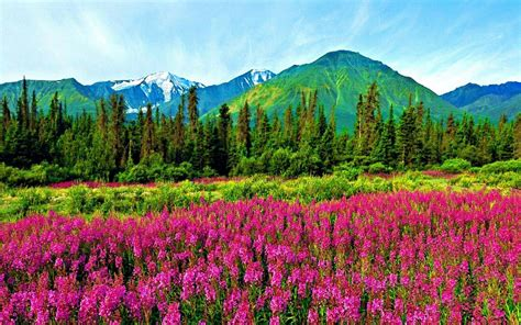 natural landscape violet mountain flowers pine trees