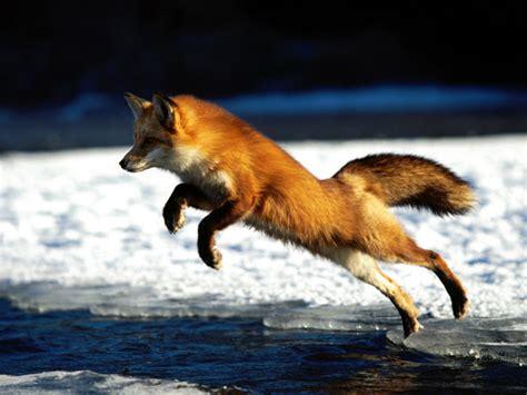 Fox Wallpaper (24577440)