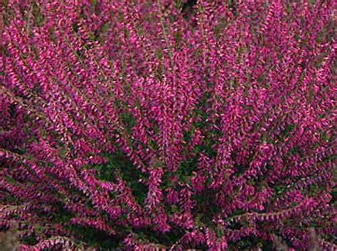 erica fiore erica fiore perenne