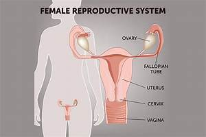 Female Reproductive System  Anatomy  Diagram  Parts  U0026 Function