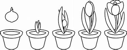Cycle Coloring Plant Growth Planting Ciclo Stages