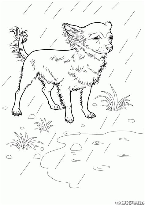 coloring page chihuahua