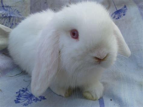 lop rabbit miniature lop related keywords suggestions miniature lop long tail keywords