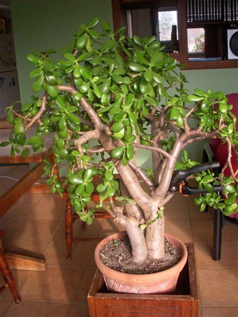 gardenatoz prune jade  crab  garden