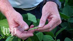 Trump's trade war threatens soybean profits - and a prime ...
