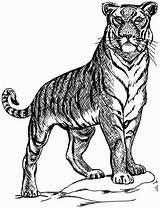 Tiger Coloring Tigers Pages Posture Guard Colornimbus sketch template