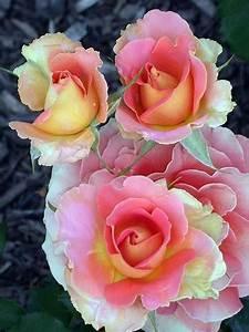 Langage Des Fleurs Pivoine : roses iris es peintures fleurs et oiseaux fleurs planter des fleurs et fleur jardin ~ Melissatoandfro.com Idées de Décoration