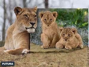 fond d39ecran lion portrait de famille With plan de maison original 14 fond decran lion blanc