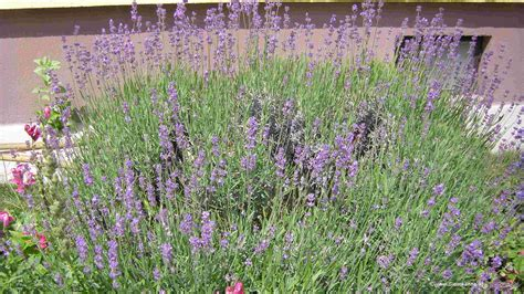 Lavendel Pflege Im Topf Lavendel Anbau Und Pflege