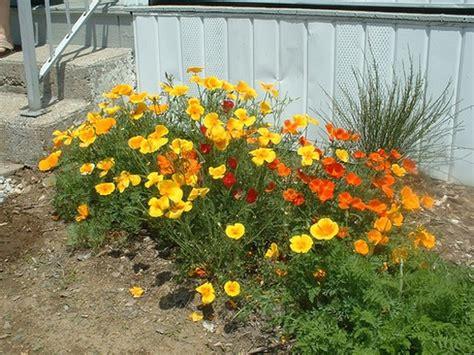 poppy flower garden garden flower poppies in different colors jpg
