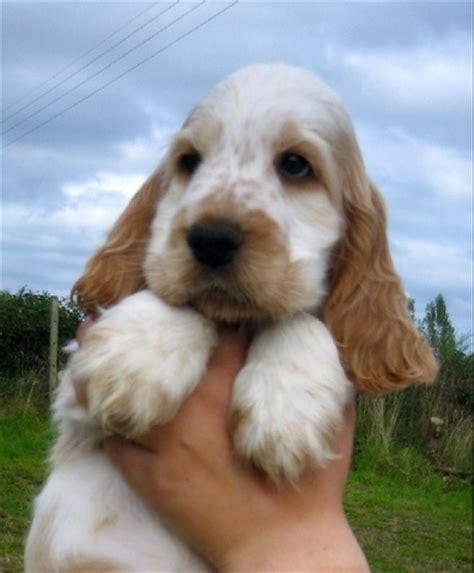 comment convaincre mes parents pour un chiot forum choisir chien cocker anglais wamiz