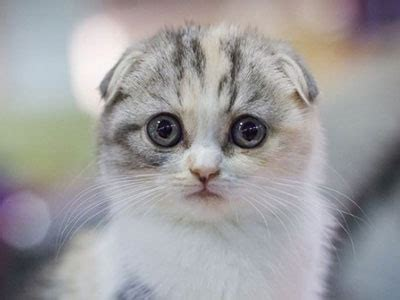Scottish Fold - Information, Characteristics, Facts, Names