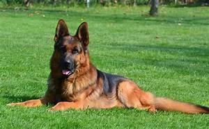 German shepherd red police dog. | Dogs - German Shepherd ...