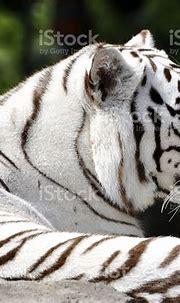 Profile Of A Beautiful White Bengal Tiger Stock Photo ...