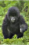 cute animals funny pup...Cute Mountain Gorilla