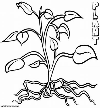 Coloring Plant Roots Flower Tree Drawing Template