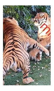 I like the tigers just the way they are! - YouTube