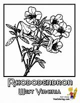 Coloring Pages Virginia West Mountaineer Rhododendron Wv Flowers Template Sketch sketch template