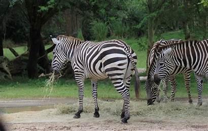 Zebra 1080 1920