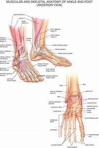 Ankle Bones Diagram   Ankle Bones Diagram Foot Anatomy