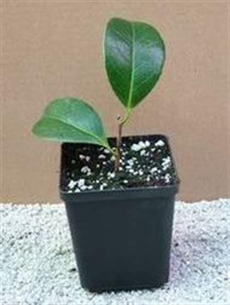 how to care for camellias burncoose nurseries