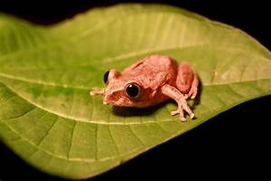 Gaboon Forest Tree Frog