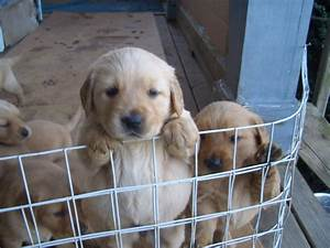 golden retriever puppies for sale forest nc 176513