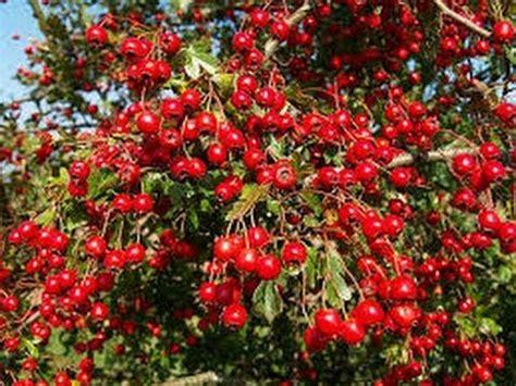Goji ̇ Berry, meyvesi ̇