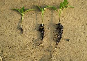 Root Development Of Pepper Plants
