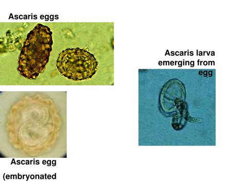 Classification Of Parasites Powerpoint Presentation