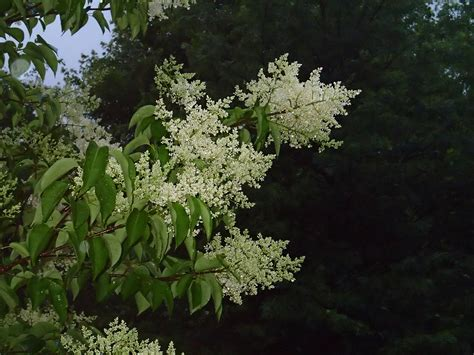 Lilac Tree by Japanese Tree Lilac Knecht S Nurseries Landscaping