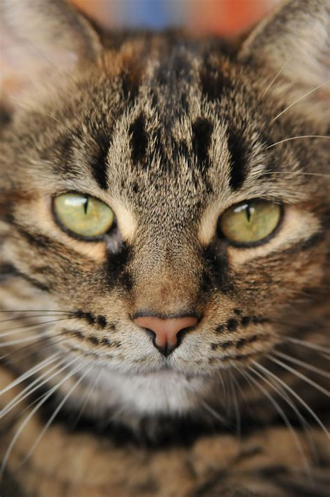 The Bengal is a hybrid breed of domestic cat. | Tabby Cat ...