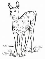 Llama Coloring Pages Baby Printable Drawing Printables Print Face Samanthasbell Leave Today Getdrawings Template sketch template
