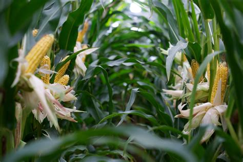 DOWNLOAD: Maize Variety Selection Guide 2020 ...
