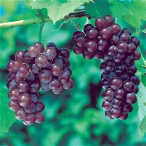 grape vine care and maintenance seedless grapes from stark bro s seedless grape vines for sale