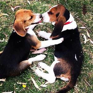 Snoopy Beagle | www.pixshark.com - Images Galleries With A ...